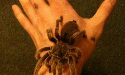 I am looking to sell my 2 and a half year old female Chilean Rose Hair Tarantula and tank comes with her also, She eats two crickets per week and has never bitten me once. The life span is around 15-25 years old with chilean rose's the female ones anyways