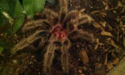 This tarantula I believe is male. Chilean rose hair tarantulas are very docile compared to other tarantulas. Will make a good pet because it can be held regularly. Selling: - Tarantula - Starter cage - Water bowl - Hut (accessory) Upside down in photo -