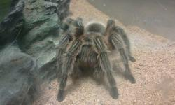 chillian rose hair tarantula with 25 gallon tank and decorations (two caves, fake trees & leaves, anchor, a heat rock which isnt really needed) also a heat lamp. We dont know how old the tarantula is unfortunately...   Asking $50 for just the spider, &