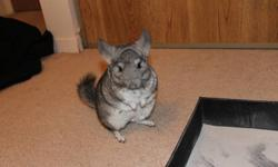 Super friendly young female chinchilla. Handled regularily, loves people. Perfect pet for appartment owners or perfect pet for a family. $150.00 FIRM Comes with everything she needs! Price includes: her cage her water bottle, her minneral rock, her food