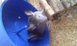 Includes large rabbit cage, a wheel, log house, bath house, lots of bath dust, some food, and a harness leash to take him for a walk. Chincillas are exotic animals originating from the Andes Mountains in Chile. They require very little work other than