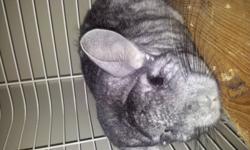 The Chinchilla comes with a huge cage, feeding dish, water bottle, sand box, and sand for their sand bath. Chinchilla?s instinctively clean their fur by taking dust baths, in which they roll around in special chinchilla dust made of fine pumice. You can