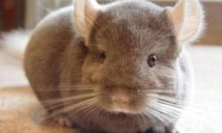 The following chinchillas are for sale and include a 2 week food supply, a one month health guarantee and a pedigree. These chinchillas are friendly, handled regularly, and many are friendly enough to greet you at the door and jump into your hands. They