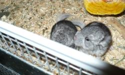 Bred by small hobby breeder and handled daily to ensure a well socialized and friendly pet, these chinchillas have been carefully bred to ensure health and longevity of your family pet. Chinchillas will live on average 15-20+ years and are