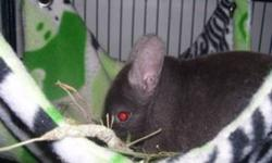 For sale by small hobby breeder is one pedigreed dark tan female bred by Sylvan Lake Chinchillas (in BC, Canada). She is friendly, quiet and would be ideal for breeding or for a family pet. Please email any questions, or to place her on hold. She has a