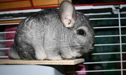 We have a one year old chinchilla for sale.He is guiet and gentle,and likes his powder baths.We have a cat that is very interested in him!