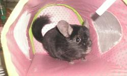 I HAVE SEVERAL CHINCHILLAS FOR SALE, I HAVE WHITE MOSAIC FEMALE ASKING 100 FOR SHE MAY BE EXPECTING.   ONE BLACK EBONY MALE ASKING 115.00 FOR HIM 2YRS OLD   ONE DARK TAN MALE ASKING 125.00 FOR HIM 2YRS OLD.   TWO STANDARD GREY FEMALE,S   THERE IS ALSO A