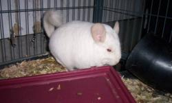 2 White Chinchillas great pets, daughter doesn't spend time with them
