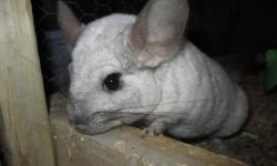 first picture is cool whip. He is a 1 and a half year old male. Very friendly and has been around kids. We had cool  whip in the pen the entire time coco was pregnant and even once she had chinnie cool whip continued to stay in the pen. He is a very nice