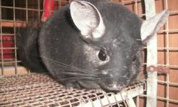 I HAVE SEVERAL CHINCHILLAS FOR SALE RANGING IN AGES FROM THREE YEARS TO 10 WEEKS I HAVE WHITE MOSIAC,DARK TAN,BLACK EBONY.SAPHIRE,STANDARD GREY,EXTREME MOSIAC,TAN,WHITE VIOLET,   THERE IS 10 ADULTS AND FIVE BABYS. ALSO MALE BONDED PAIR MUST GO TOGETHER.