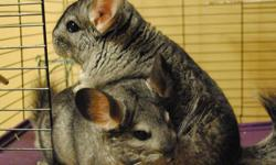 I have a mother (3 years) and son (18 months old) Chinchilla pair. They are not being kept in the same cage because I wasn't risking a chance of them being together as they got older. They are friendly and well mannered, love treats and dust baths. Very