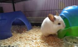Cute, lusciously soft, white chinchillas. Breeding pair and one male offspring. To be sold as pets with the cage.  They are in need of a caring, loving, owner with the time, to let them out and play with them.