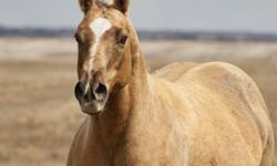 Beautiful Chocolate Dapple Palomino AQHA mare in foal for 2012 to arabian stallion FSF Jesse James.  This mare is an incredible producer!  She has produced for our farm - 1 Cremello AQHA Mare - 2 palomino half-arabians  - 1 colt/1 filly...Pictures of her