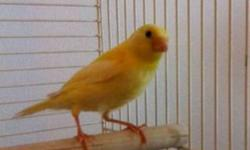 Hi, we have a very beautiful male canary available. He is young and very healthy. He is a very pretty yellow and has a beautiful song. He is a very cheerful bird will bring a lot of joy to your home. The bird alone is worth $150 + before tax in the pet