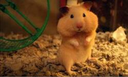 Hamsters with no homes, need someone to love them. They don't bite! Come and see them! They are approximately 5-8 weeks old; there is a variety of colours. Tame and friendly. Serious inquiries only. Consider giving one of these little guys a home.