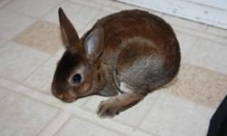we have only 2 males left! they are very sweet and friendly, as you can see they are used to kids as well! mini rex bunnies are known for their velvety soft fur and should mature to approzimately 4 lbs. email or call anytime, except after 8 pm. they make