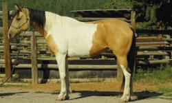 Kootenay is an 8 year old Tri-Coloured Paint Cross.  She has been ridden extensively in the trails by novice riders.  She really likes to get out and go and really enjoys arena work where she can put all her energy into something.  Very nice mover that is