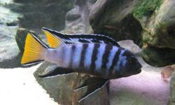"""Pseudotropheus Elongatus fry About 1"""" Picture below is what the male will look like in breeding colours, female is darker with little yellow. Electric Yellow fry for sale, same size. See picture below for picture of what the male will look like. Also"""