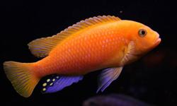 I have the following Cichlid fry for sale.   They are $2.50 each or 5 for ten dollars. They are about 1.5 inches and doing very well.   RED BY RED ARATIS     Key word; cichlids Calvus compressiceps fish tank frontosa fry