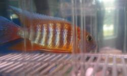I have one to sell.. He has real nice orange and blue with some white, He just started to colour up... Not full grown yet! My other cichlids were starting to really pick on him, that is why I am selling him! Best offer!!