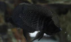 """1. I have (2) altolamprologus black calvus - asking for $120 for both. One is 3"""" and one is 4"""" 2. I have (4) altolamprologus compressicep """"Kabogo"""" wild caught - asking for $200 for all four. Three are 4"""" and one at 3"""" Email me if you have any questions."""