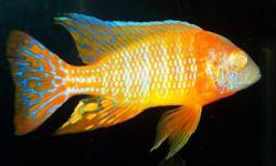- albino bristle nose plecos -Electric Yellow prices and sizes varies $5 and up -Protomelas Spilonotus Tanzania b reeding group -demasoni -albino ruby reds -red top afra -ruby red -3 female electric blue johanni -nyererei -electric blue -yellow tail acei