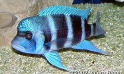 HI everyone I have some cichlids  that are ready for new homes they are all very healthy and eating well  and growing fast  I have   20 Metriaclima greshakei  at 1.5 inches  will show awsome blue with orange fins  $3.00 each or 4 for $10   20 Metriaclima