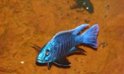 I have for sale: 15 Scieanochromis a.k.a Hap Ahli @$3 each (.75-1 inch) *pic. 1 is father 5 Eureka Red peacocks @ $3 each (.75 inch) *pic. 2 is father 10 Rare Al-bi-no Eureka Reds @ $4 each (.75-1 inch) pic. 3 is juvenile fish 20 Bright Yellow Labs @ $2