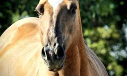Beautiful, substantial daughter of Cluition in foal for 2012 to Champion halter and western pleasure arabian stallion, FSF Jesse James.  This mare does have halter points and is HYPP N/N.  Proven producer and excellent mother, very non-complicated mare.