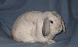 """""""Clyde"""" frosty proven holland lop buck for sale asking $20.00 Must go ASAP real nice buck  Serious inqures only Pedigree available Phone Hailey @ 697 2696 or email"""