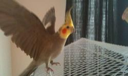 Selling a family cockatiel Male (Pic.# 1,2) Female(Pic.# 3) 2 babies 3 weeks old (Pic.# 6) baby 3 months old (Pic. # 4,5,7) Good deal with $50 each (parents with the baby) $50 for both babies Bring your own cages OBO for my cages