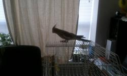 Selling cockatiel 6 months old, propably a Female For pick up bring your cage delivery possible within Hamilton