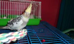Hi. Im selling my 2 year old cockatiel. His name is Quincy and he`s a male. I`m selling him for 50$ with the cage and toys you see in the pictures.. He`s a very friendly bird, but he does have attitude. I`ve never had any problems with him but I am his