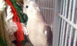 Breeding pair of whiteface cockatiels. Proven breeders. This ad was posted with the Kijiji Classifieds app.
