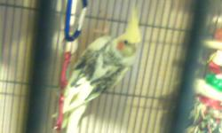 I have 7 young Cockatiels for sale, Born Feb 2011 3 Lutino, and 4 Pied I don't have the room for them and would like them to go to a good home, I also may part with one of the sets of parents (pied approx 2yrs old) The youngsters I'm asking $75, The