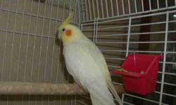 """2 Grey Cockatiels and 1 Yellow Cockatiel $75.00 each   Friendly, they whistle and the grey ones repeat words. Grey ones say  """"Pretty Bird"""" Like to have a bath, eat plain cheerios out of your hand!! Fun pet, they will give you hours of silly actions!!"""