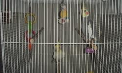 Selling my 2 male untamed Cockatiels call Najib @ 4035548052 or email me