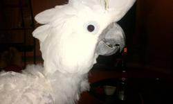 This cockatoo is the most lovable parrot you will ever meet, great family pet. Very friendly and loves to be held and pet. She is only 10 and speaks a few words. I am simply asking $1300 obo with the cage only because i work out of town and dont get to