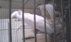 white cockatoo for sale with cage for more info call bill at 519 369 1000