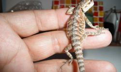 I am selling my last clutch of baby bearded dragons as they are more than 4 weeks old now.  They are ready to go to their new home. They are all healthy, eating great on calcium dusted 1/4 crickets, mealworms and greens. I also have some tanks,