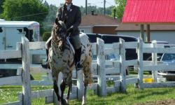 Leopard Appaloosa. Was shown at younger age befor bought.Was shown at local clubs lst year.placed well.This year.2 clubs doing well with limited workouts. I am selling due to truck accident in the winter.He was bought for me to presue my dream to ride and