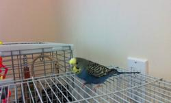 I'm selling my budgies due to the fact that I no more have the time I used to have to spend with them, so it is not fair to them anymore. I have 6 budgies and I'm willing to sell them for 90$ no cage and 140$ with cage. I would also exchange them with a