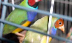We still have some gouldians available. Fully colored. males and females available. These are great birds to have because they are not agressive. They are very colorful and not noisy. Come and get them while they are still available.