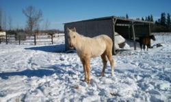 Brandi is welsh cross coming 2 year old palimino filly. She should mature between 13-14 hh and will be very quiet to work with. She's halter broke and stands good for the farrier also good to deworm. This filly has been handled lots. She would make a good