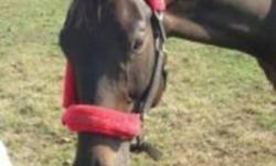 This lovely boy is a 2001 model, standing just under 16hh and is dark bay/black in colour. He has supurb ground manners, great in the cross-ties and for the Vet and Farrier. UTD on all vaccines including WN and Strangles. UTD with de-worming and farrier.