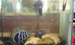 Convict Cichlid babies for sale.  Regular grey with black stripe ones as well as ones with no stripes (they are white to light pink in color).  Only a couple of months old.  $4 each Pretty small, but you can see in the picture what they will mature to