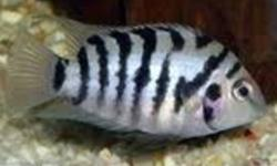 i have some baby convict cichlid fish forsale there around one centimeter long, lookin to get 1.50 per fish or will take 40 for all of them. theres 30 fish altogether. fish cost 10$ to 15$ each in petstores. the pictures you see is what they will look