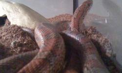 Looking to sell my corn snake He is three years old loves to be held Tank ,water dish,cave ,log and dirt is included