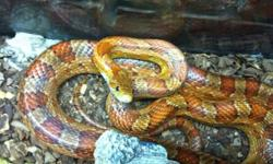FOR SALE: Corn snake with aquarium/stand and all accessories (water dish,heat rock,light,plants) very friendly/tame! This ad was posted with the Kijiji Classifieds app.