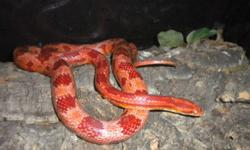 got a pair of amelanistic corn snakes, female is albino, she had laid 12 eggs last season they are around 3 feet long, just the snakes no tank pick up only. male is darker snake